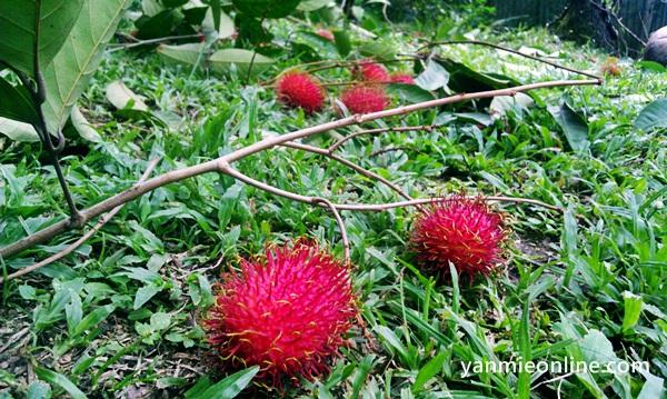 kait buah rambutan