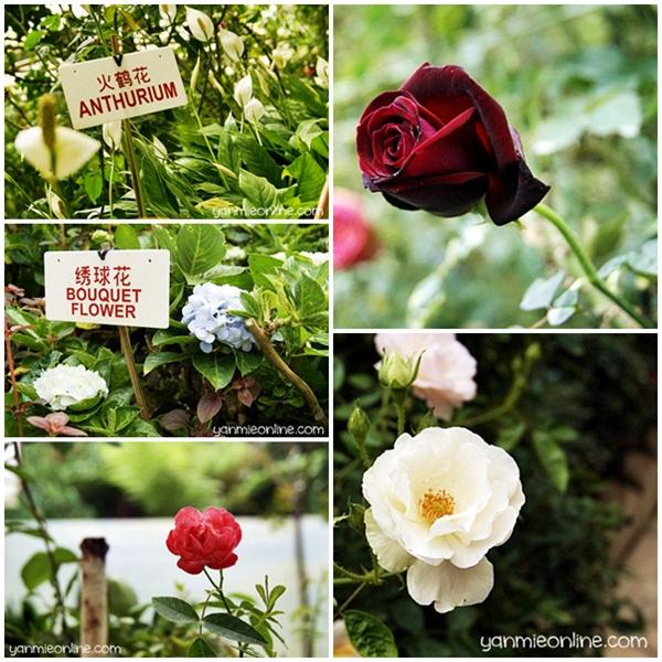 Taman Bunga Ros Cameron Highland